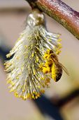 Macro of a bee collecting pollen from the blooming spring pussy-willow - shallow DOF poster