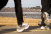 A Canada goose rests as runners go by on a nearby bike path. poster