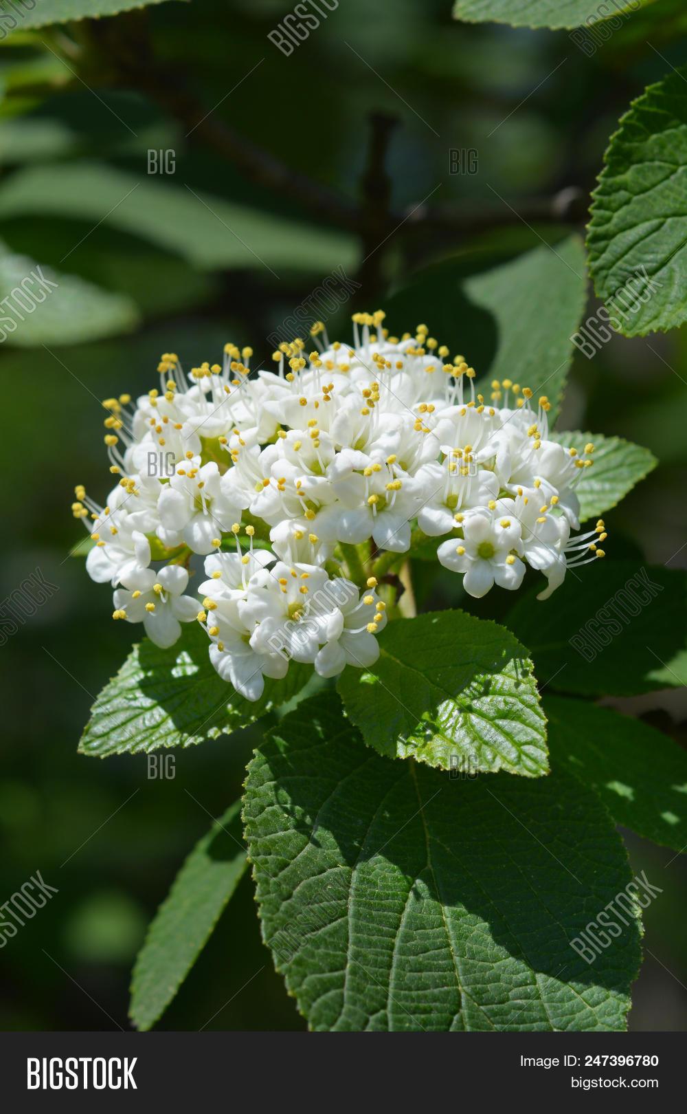 Wayfaring Tree White Image Photo Free Trial Bigstock