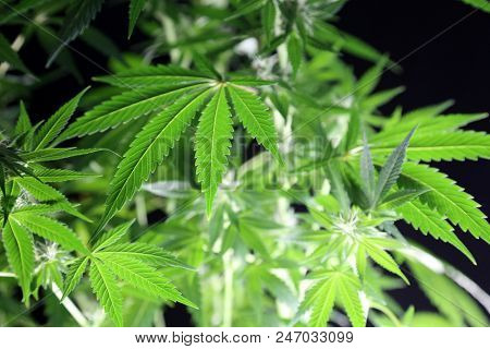 Marijuana Plant. Beautiful Female Marijuana Plant Photo. Female Cannabis Flower, plant and leaves.