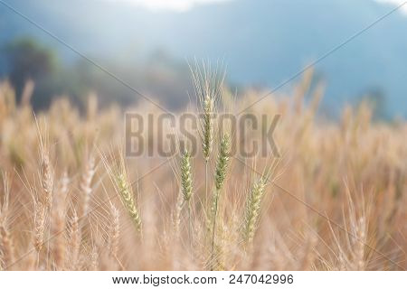 Beautiful Landscape Of Barley Field In Summer At Sunset Time, Harvest Time Yellow Rice Field In Thai