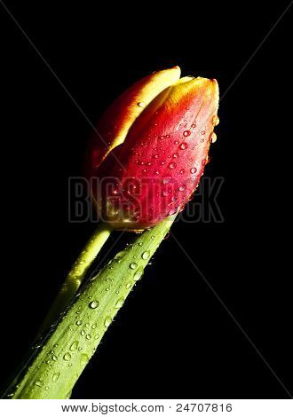 Tulip Water droplets