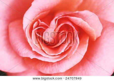 Rose Pink Macro
