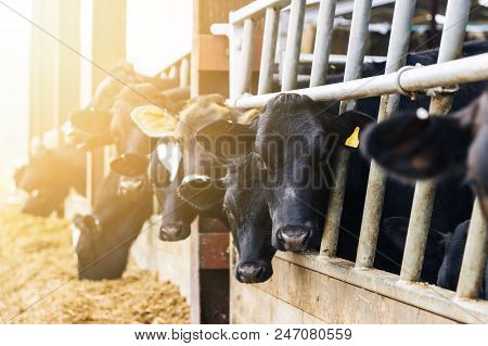 Dairy Cattle In A Cow Shed Eating Silage At Feeding Time.