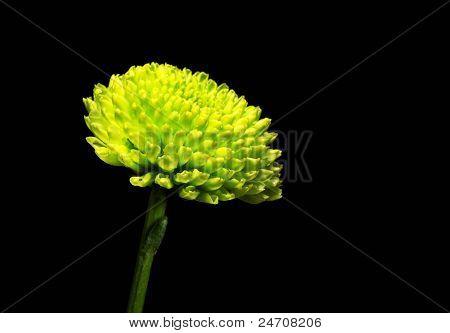 green chrysanthemums single in black background