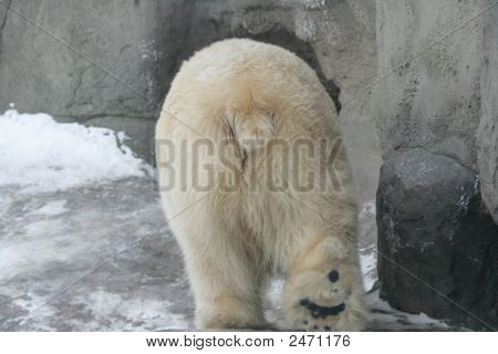 Ass of a polar bear in a zoo of Moscow poster