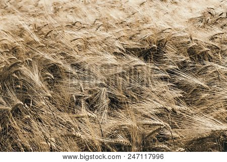 Ripe Wheat Field On A Windy Day, Natural Background