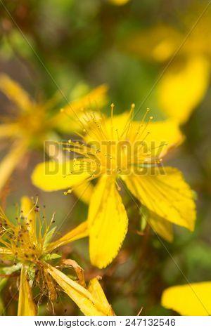 Flower medicinal plants - Hypericum perforatum (aka. perforate St John's-wort) a medicinal herb with antidepressant activity poster