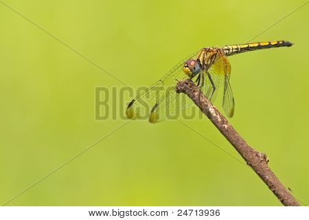 Diplacodes sp. Dragon fly