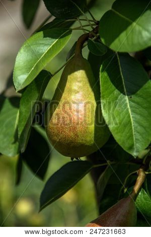 Growing pears on a branch.Pears on tree in fruit garden.Group of ripe healthy yellow and green pears