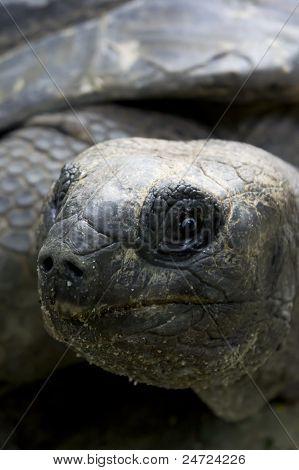 Aldabra Giant Tortoise