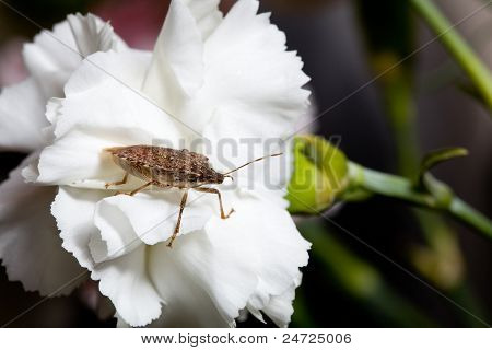 Stink Or Shield Bug On Carnation