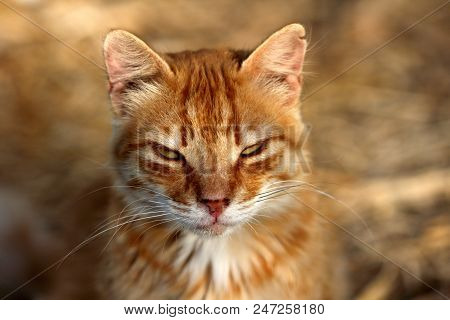 Portrait Of Feral Red Cat In The Countryside. Photography Of Nature And Wildlife.
