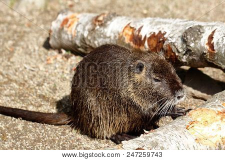 Full Body Of Coypu Nutria. Myocastor Coypus, Sitting Near The Rivershore. Photography Of Nature And