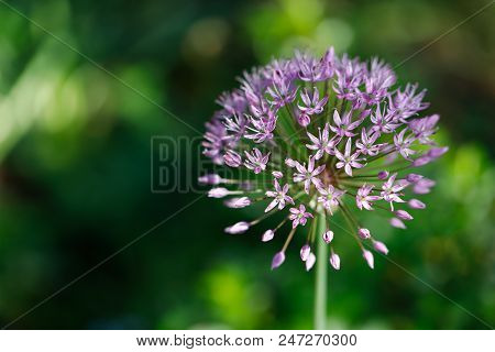 Close-up Of Lilac Flower On The Spring Meadow. Macro Photography Of Nature.