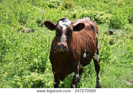 Closeup Image Of A Brown Curious Young Cow