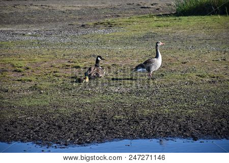 Two Different Kinds Of Geese, Canadian Goose And Greylag Goose, With Chicks At The Swedish Island Ol