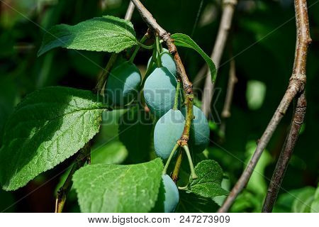 Green Plums On A Thin Branch With Leaves