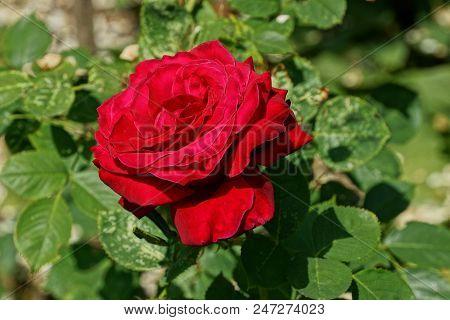 Big Red Bud Of A Rose On A Stem Of A Bush In A Green Garden