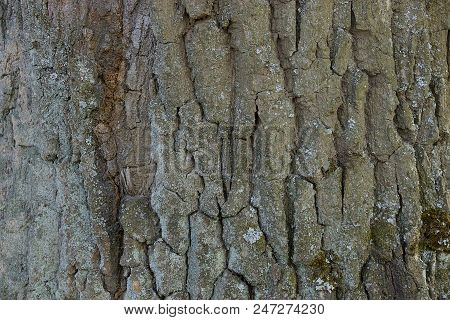 Natural Gray Texture From Dry Oak Bark
