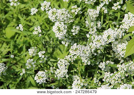 White Flowers Of Lobularia Maritima Blossoming In Garden. White Flowers With Scent Of Honey. Flowers