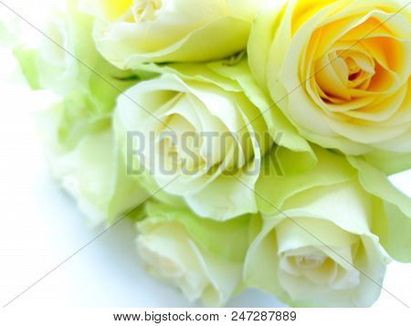 Delicate White-green Roses On A White Background.