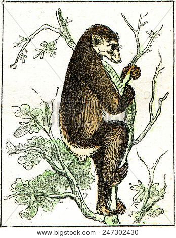 Indri has short tail, vintage engraved illustration. From Natural Creation and Living Beings.