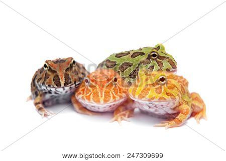 The chachoan horned frog, Ceratophrys cranwelli, isolated on white background poster