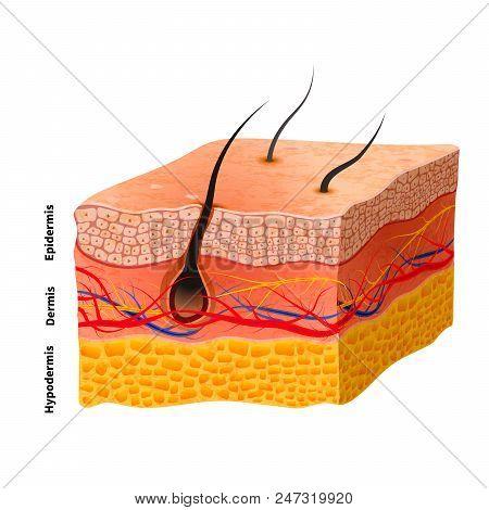 Detailed Human Skin Structure, Medical Illustration On White
