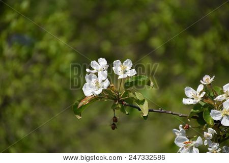 Blossom Apple Tree Twig By A Natural Green Background