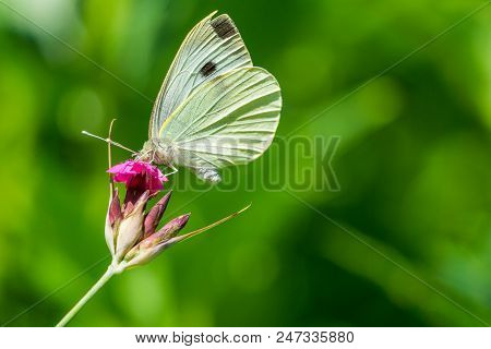 Close-up Of A Beautiful Yellow Butterfly Who Drinks The Sweet Nectar Of A Purple Flower In Sunlight.