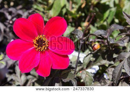 Close Up Image Of A Single Cerise Dahlia Mystic Allure Flower With Copy Space.