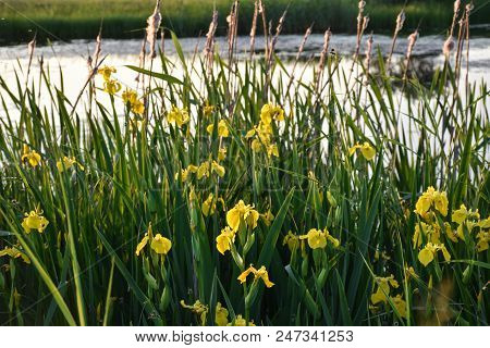 Blossom Yellow Iris Flowers Closeup By A Wetland