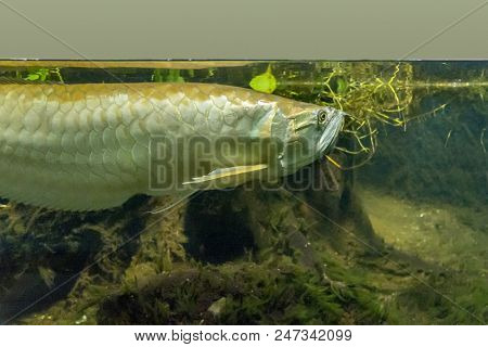 Underwater Scenery Showing A Silver Arowana Fish In Riparian Ambiance