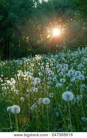 Forest Summer Landscape. Summer Forest Trees And White Fluffy Summer Dandelions On The Foreground Un