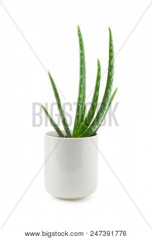 alternative medicine and skin care - aloe vera plant in a pot isolated on a white background