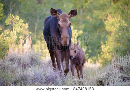 Wild Shiras Moose In The Rocky Mountains Of Colorado. Cow With Baby.
