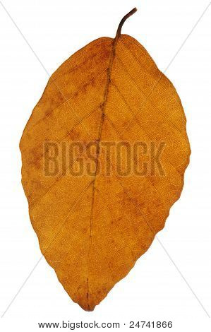 Beech Leaf In Autumn
