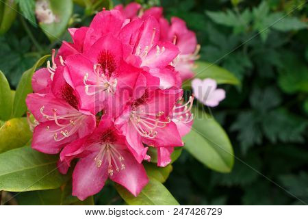Pink Rhododendron Flowers In A Garden During Spring