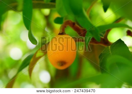 Closeup To The Loquat Tree, The Fruits Of A Loquat