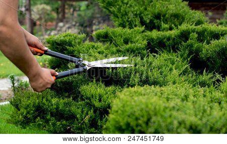 Work In The Garden. Shearing Of The Juniper With Gardening Scissors, Soft Focus. Garden Art/ Design/