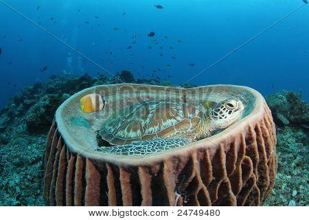 green turtle (Chelonia mydas) in big barrel sponge