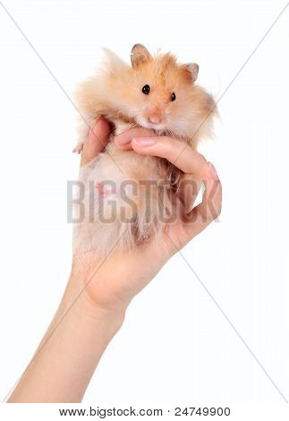 Funny Hamster In The Hand