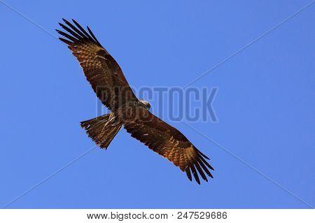 Black kite in the sky