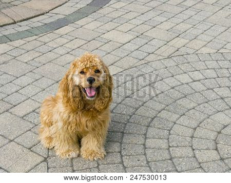 Adorable Little American Golden Cocker Spaniel Puppy Sitting On Ornamental Brick Paving On An Exteri