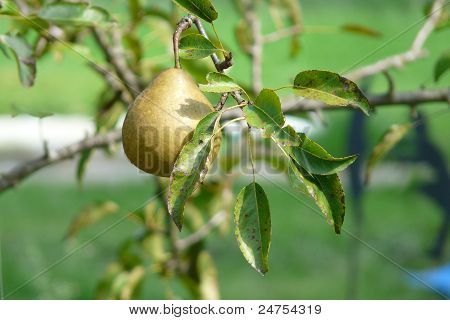 Pear in a Tree