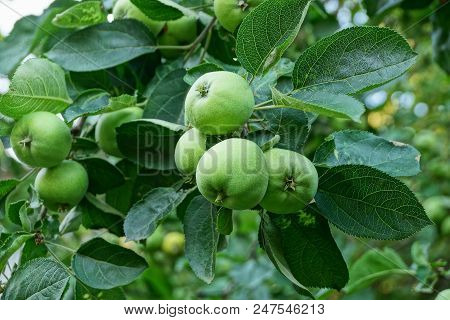 Green Apples On A Branch Of A Tree With Leaves