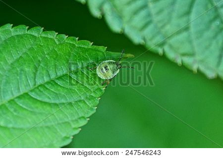 Small Green Beetle On A Leaf Of A Plant