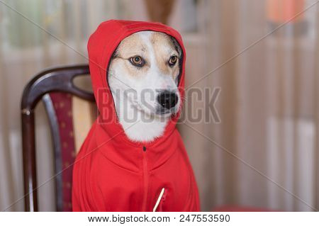 Indoor Portrait Of White Dog Fit New Garment While Sitting On A Chair At The Table.