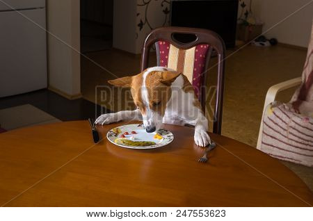 Unmarried Basenji Dog Is Having Lunch Sitting All Alone In Dining Room